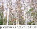 白樺和黃色葉子 26024130