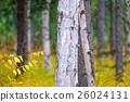 白樺和黃色葉子 26024131