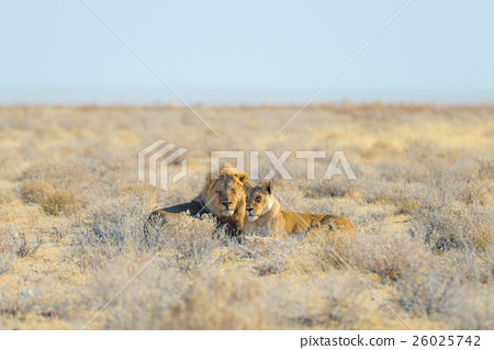 Couple of Lions lying down on the ground 26025742