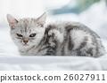 Angry beautiful kitten 26027911