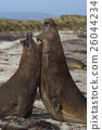 Southern Elephant Seals fighting 26044234