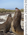 Southern Elephant Seals fighting 26044236