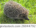 forest hedgehog young 26044792