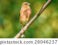 Male Common Chaffinch 26046237