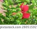 Red Hibiscus Flower in the garden 26051592