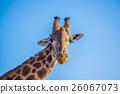 African Giraffa 26067073