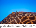 Birds over giraffa 26067075
