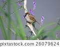 麻雀 鸟儿 鸟 26079624