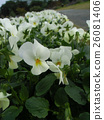从秋天到新年继续绽放的白色三色堇 26081406
