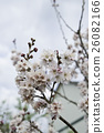 樱桃树 游览 观光 26082166