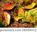 녹색, 가을, 붉은 26099412