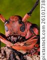 Longhorn beetle (Loesse sanguinolenta), Beetle 26101738