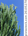 Tall cactus 26105270