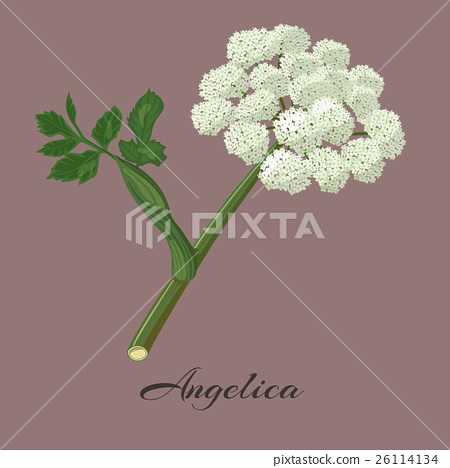 Flowering angelica herb. 26114134