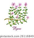 herb, thyme, ingredient 26116849