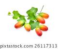Ivy gourd, Coccinia grandis, Family Cucurbitaceae 26117313