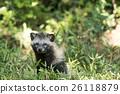 動物 狸 肉食的 26118879