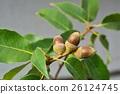나무열매, 열매, 도토리 26124745