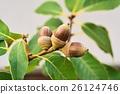 나무열매, 열매, 도토리 26124746