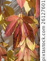 closeup of autumnal red leaves in a garden. 26127601
