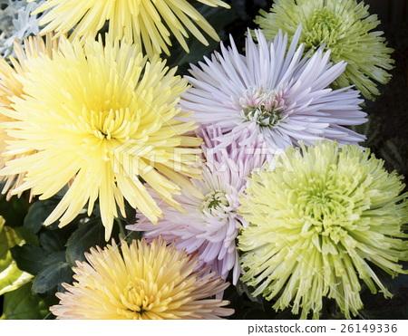 細長的花瓣菊花10 26149336