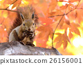 松鼠 日本北海道松鼠 松鼠常見的東 26156001