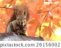 松鼠 日本北海道松鼠 松鼠常見的東 26156002