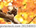 松鼠 日本北海道松鼠 松鼠常見的東 26156003