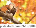 松鼠 日本北海道松鼠 松鼠常見的東 26156004
