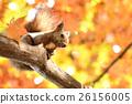 松鼠 日本北海道松鼠 松鼠常見的東 26156005