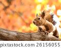 松鼠 北海道松鼠 日本北海道松鼠 26156055