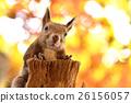 松鼠 日本北海道松鼠 松鼠常見的東 26156057
