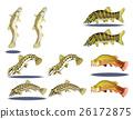 泥鰍 天氣泥鰍 淡水魚 26172875