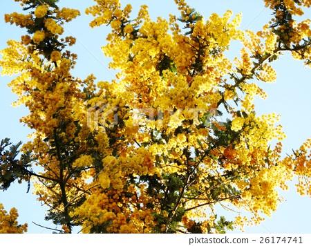 세계 여성의 날 3 월 8 일 이탈리아에서는 미모사의 날. 남성이 감사하는 마음으로 여성이 꽃을주는 습관이있다. 26174741