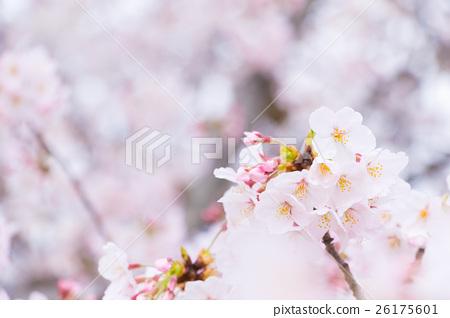 Sakura Sameyoshi no Sakura Closeup closeup copy space 26175601