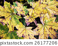 Colorful maple leaves in autumn nature 26177206