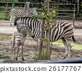 Hartmann's mountain zebra - Equus zebra hartmannae 26177767