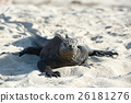 鬣蜥蜴 沙滩 加拉帕戈斯群岛 26181276
