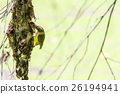 Brown-throated Sunbird (Anthreptes Malacensis) 26194941