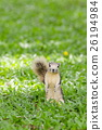 Squirrel sitting on the grass field 26194984