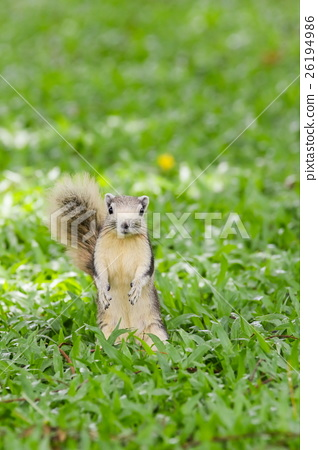 Squirrel sitting on the grass field 26194986