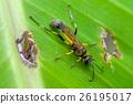 common wasp (Vespula vulgaris) 26195017
