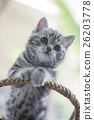 Lovely tabby cat playing in the basket 26203778