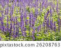 Blue Salvia plant 26208763