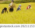 水稻收获风光 26211153