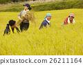 水稻收获风光 26211164