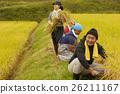 水稻收获风光 26211167