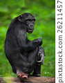 Chimpanzee, Pan troglodytes, black monkey  26211457
