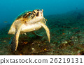 turtle coming to you underwater in cabo pulmo mexico california 26219131