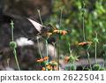 Nice hummingbird feeding on orange flower 26225041